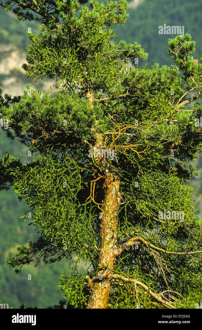 MISTLTOE [ VISCUM ALBUM ] GROWING ON PINE TREE IN SOUTHERN FRANCE - Stock Image