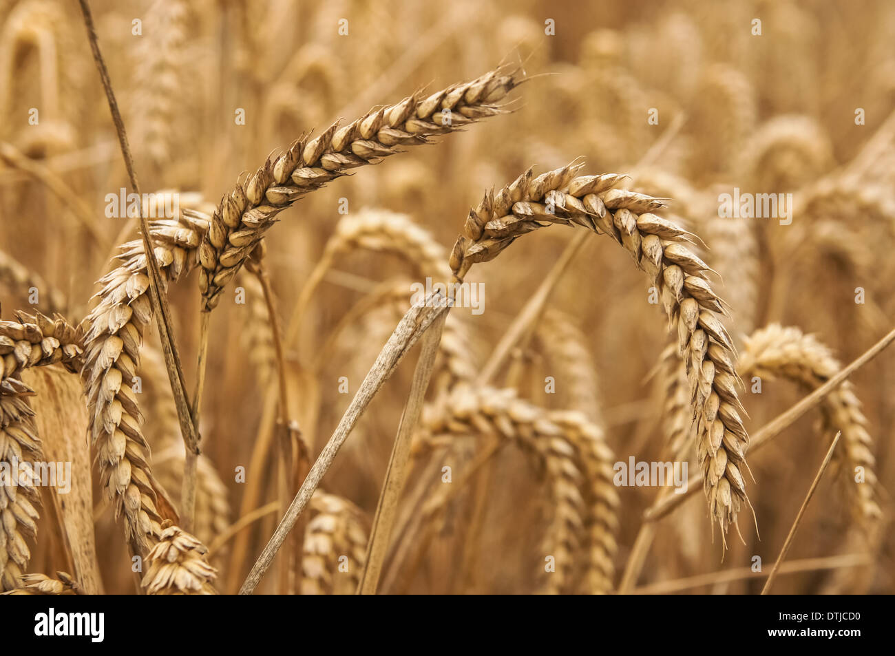 Close up of wheat ears - Stock Image