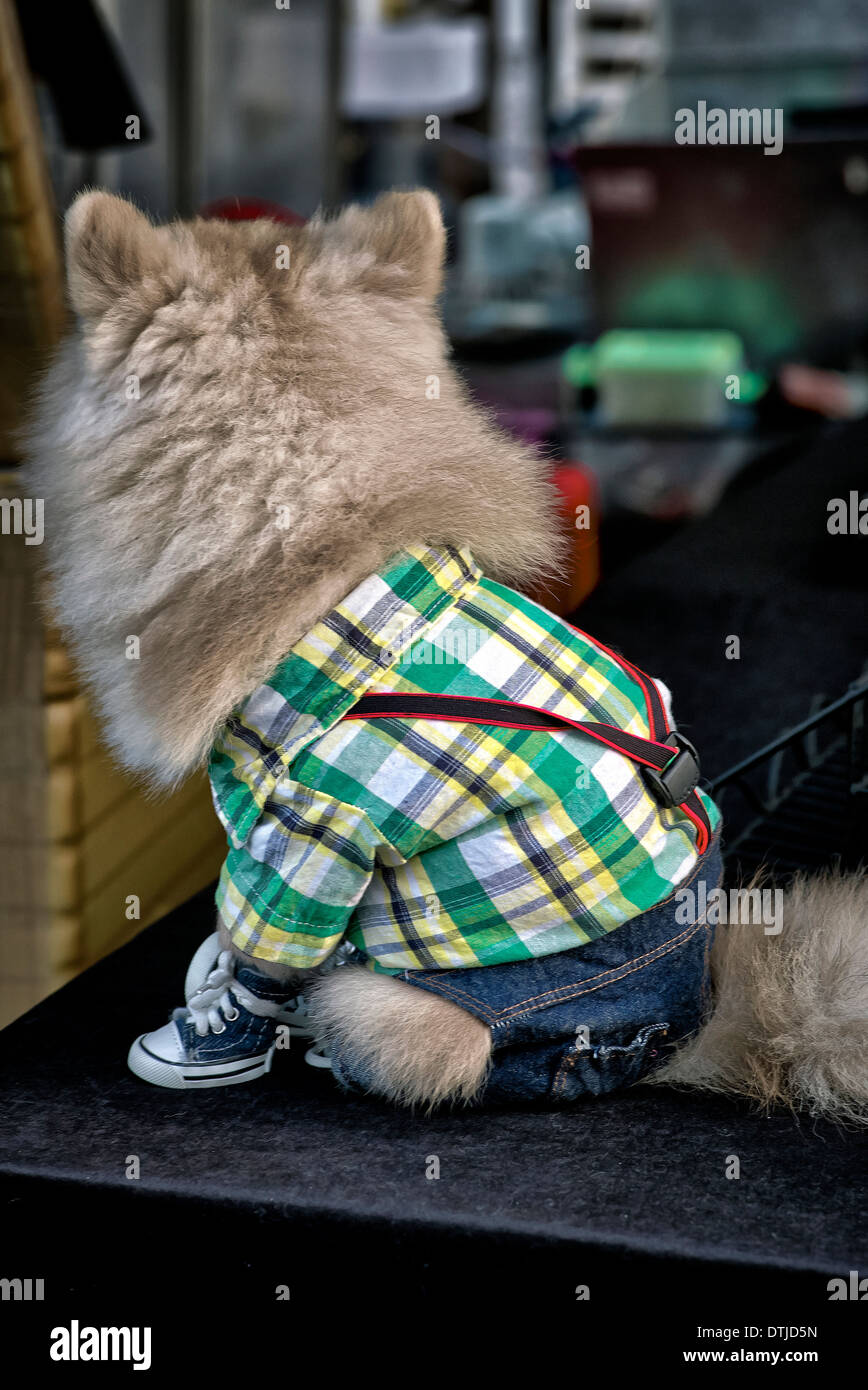 Pomeranian dog wearing clothes including a shirt, bracers (suspenders) and denim jeans. - Stock Image