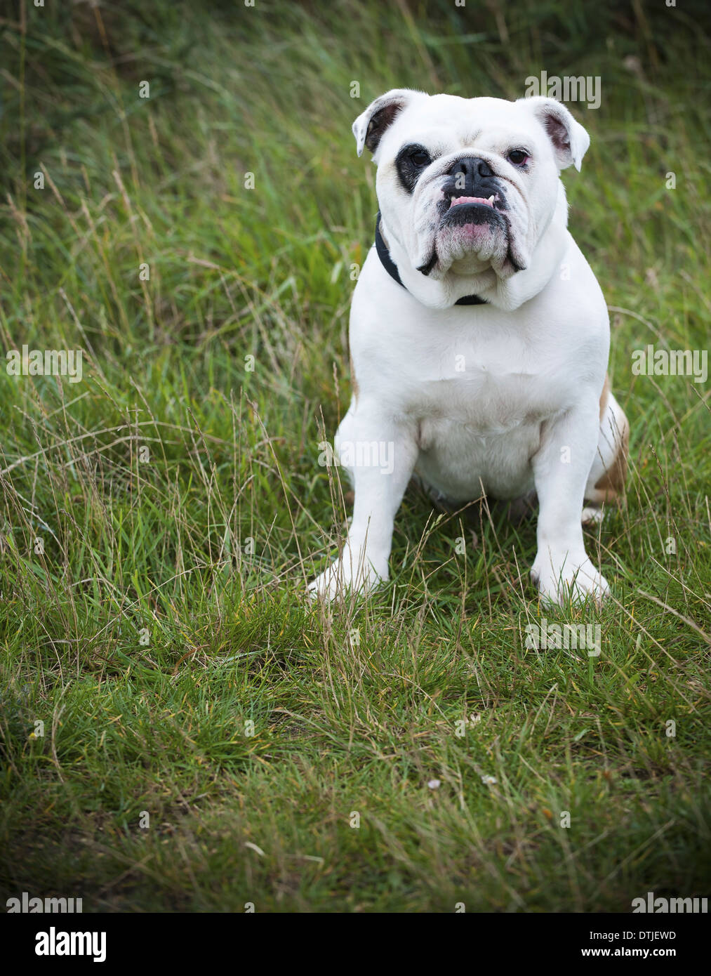 A white English Bulldog a pedigree dog with a snubbed nose sitting on his haunches on a lawn England - Stock Image