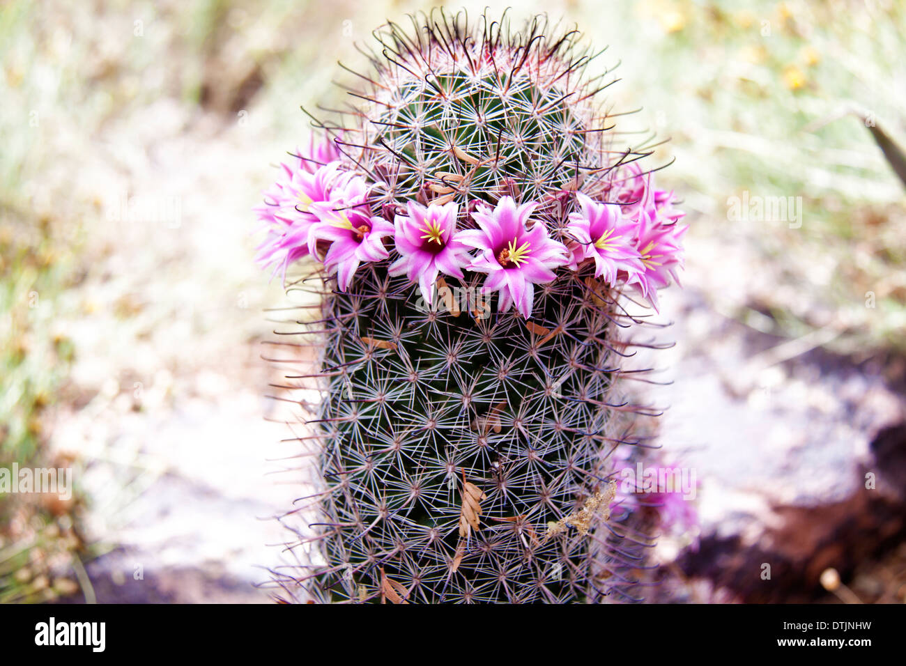 Small Cactus Found In Arizona With A Lovely Rose Pink Color Flowers