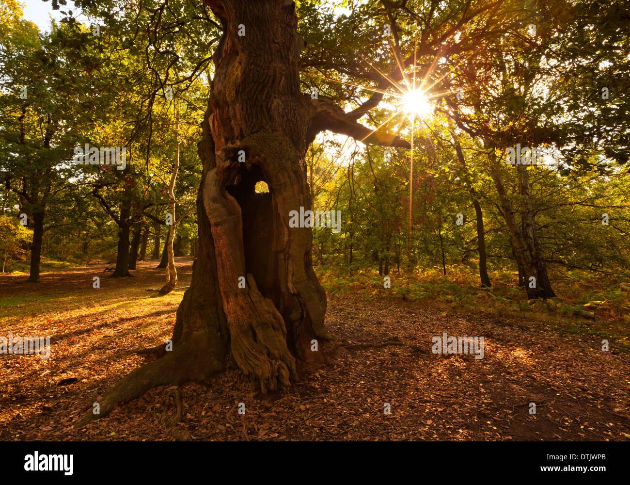 sherwood forest trees Edwinstowe nottinghamshire England UK GB EU Europe - Stock Image