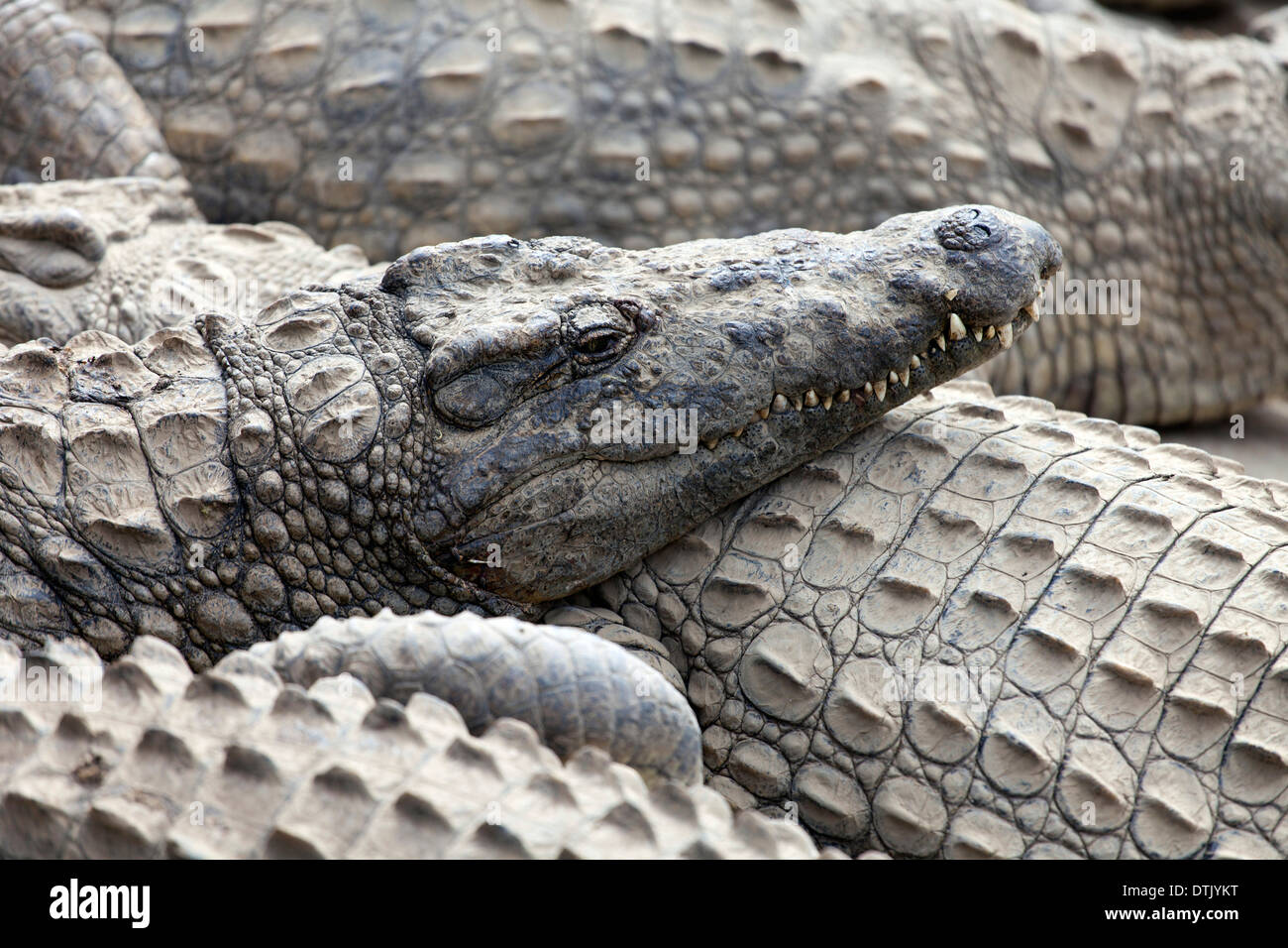 Crocodiles on Antananarivo Crocodile farm - Stock Image