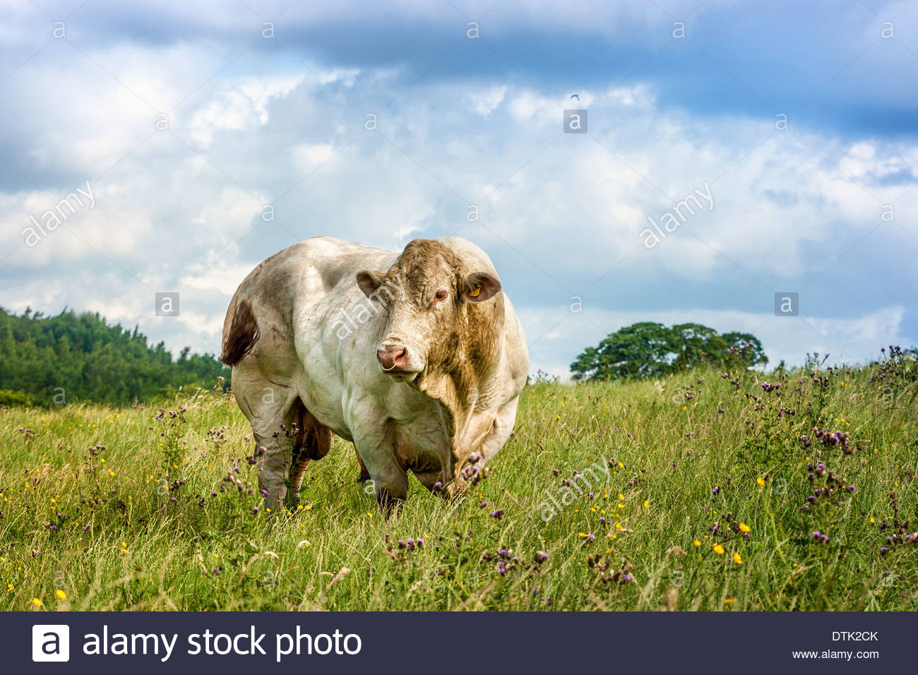 Bull a large white breeding bull standing in a field surveying his territory - Stock Image