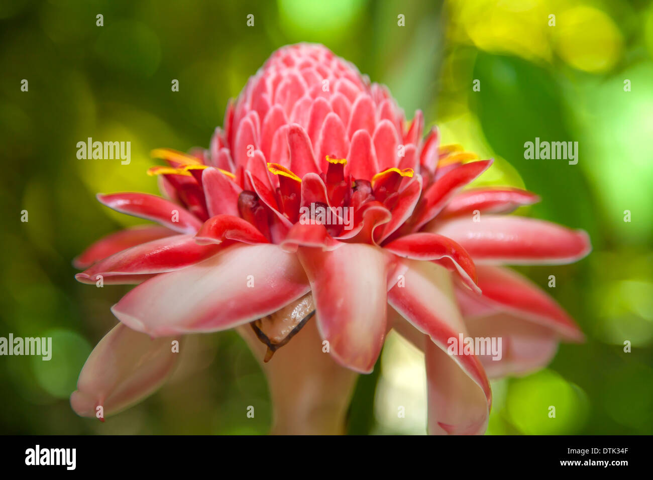 Tropical flowers in the Diamond Botanical Gardens, St Lucia, in the Caribbean - Stock Image
