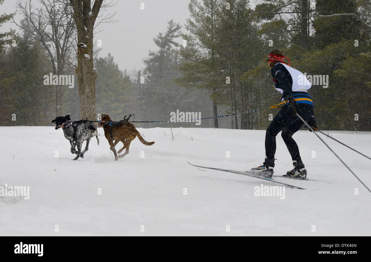 Female racer from behind in a skijoring event with two dogs pulling in a winter snowstorm Marmora Ontario Snofest - Stock Image