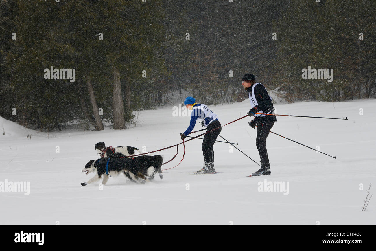 One Skijoring racer passing another on the trail in a two dog event in Marmora Ontario Snofest - Stock Image