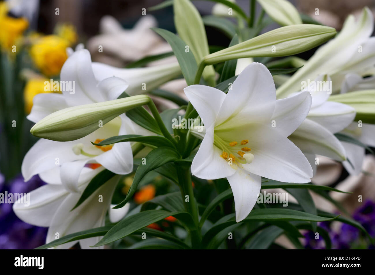 Potted spring flowers stock photos potted spring flowers stock potted easter lilies for sale at a garden center in the spring stock image mightylinksfo
