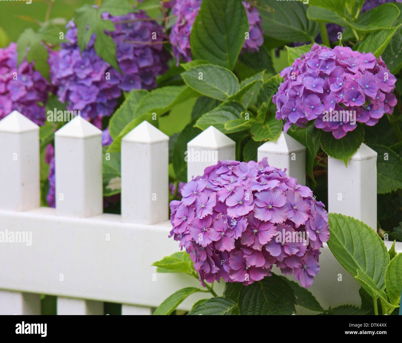 A summer garden of purple hydrangeas against a white picket fence on Cape Cod - Stock Image
