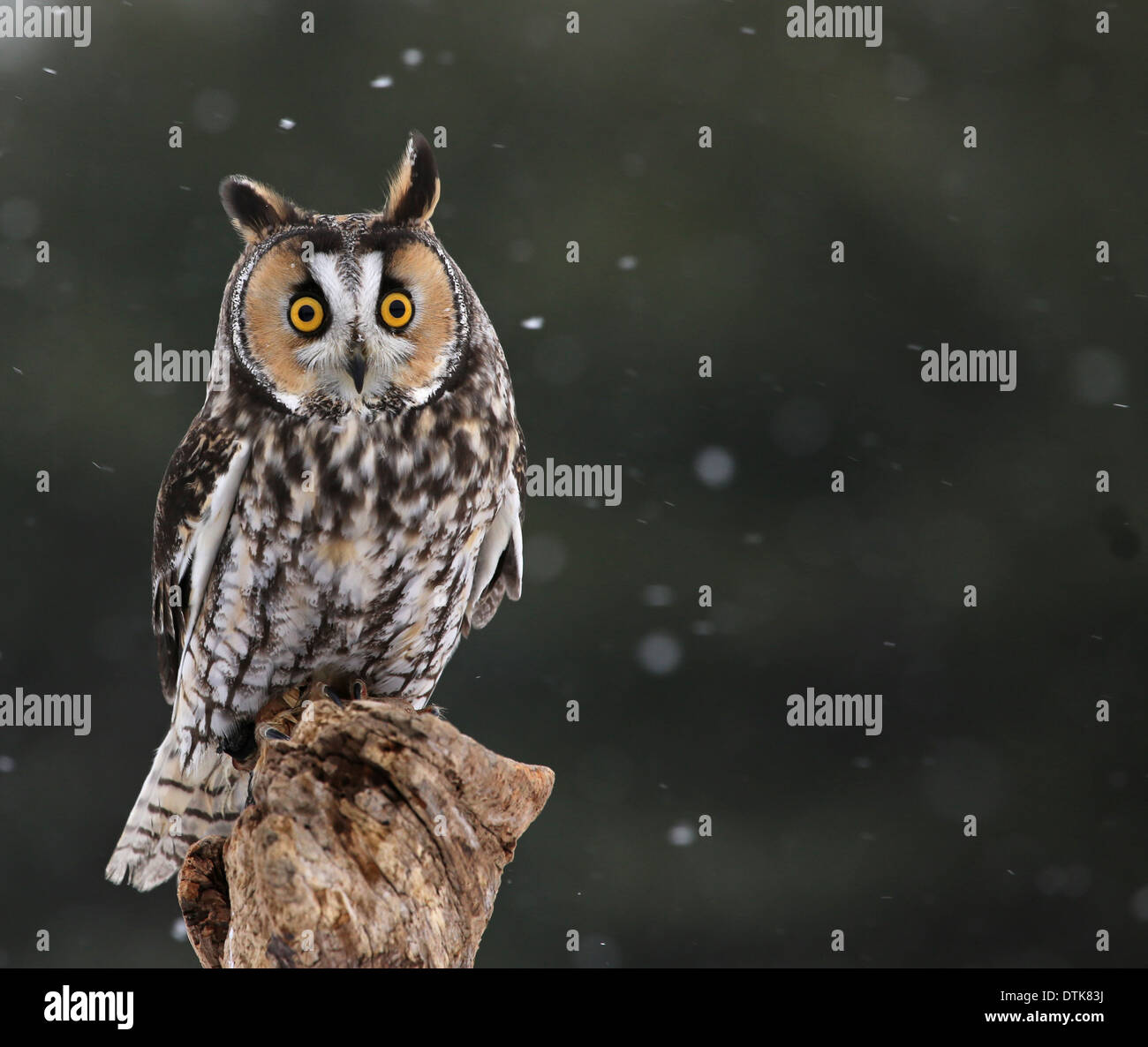 Startled Long-eared Owl Stock Photo