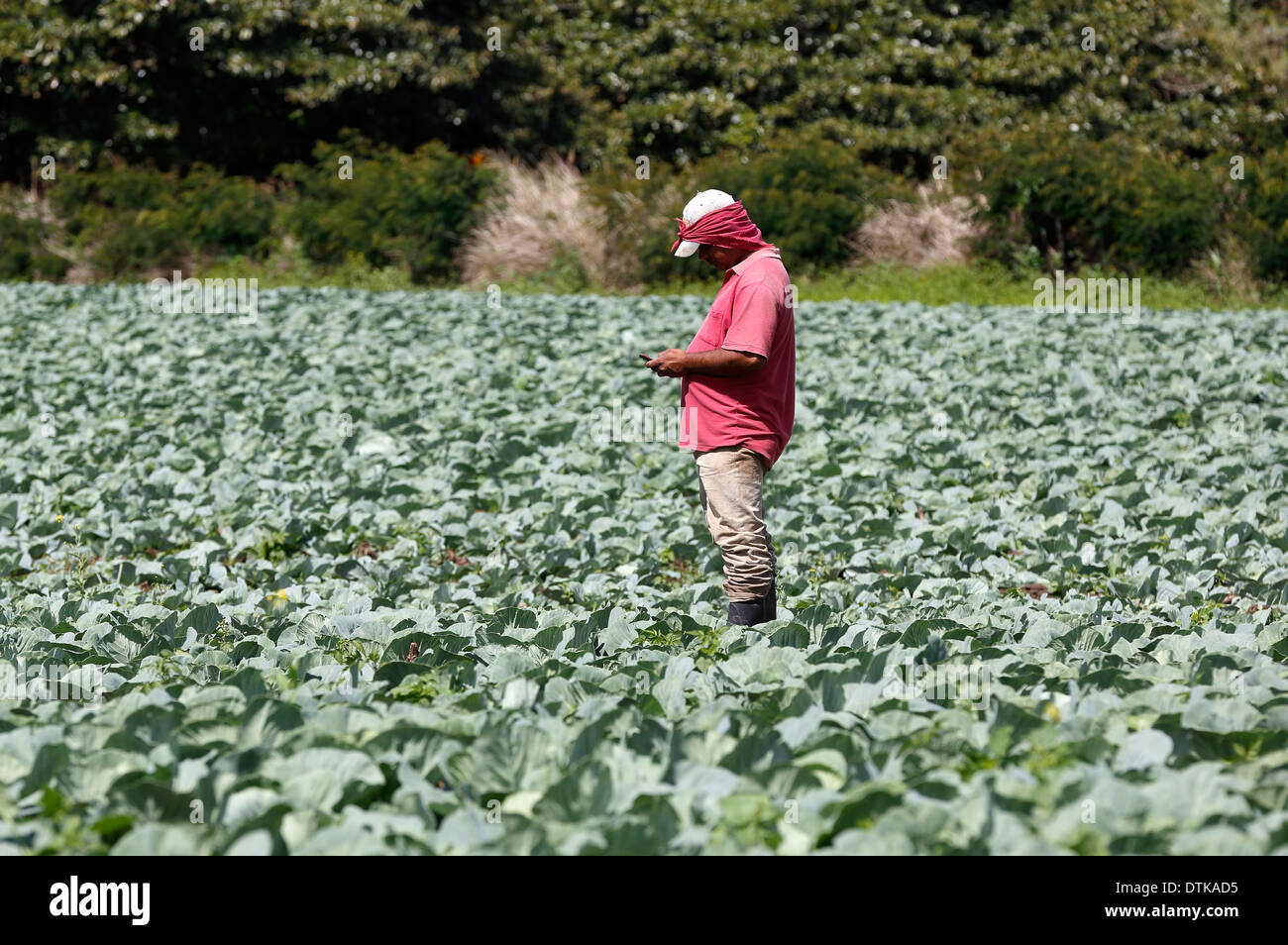 Man reading cell phone in cabbage field, northwest highlands, Nicaragua - Stock Image