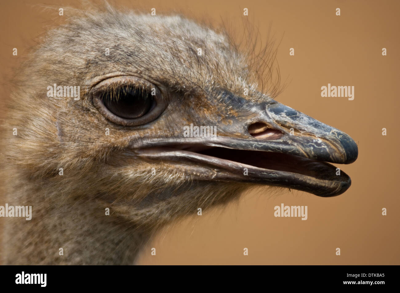 Portrait of an ostrich Struthio camelus Stock Photo