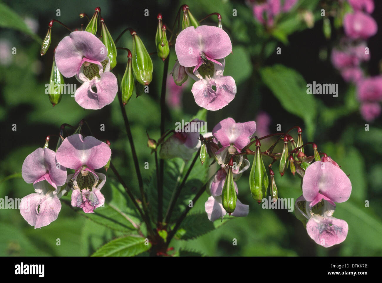 Pink Flowers And Green Seed Pods Of The Himalayan Balsam Plant Stock