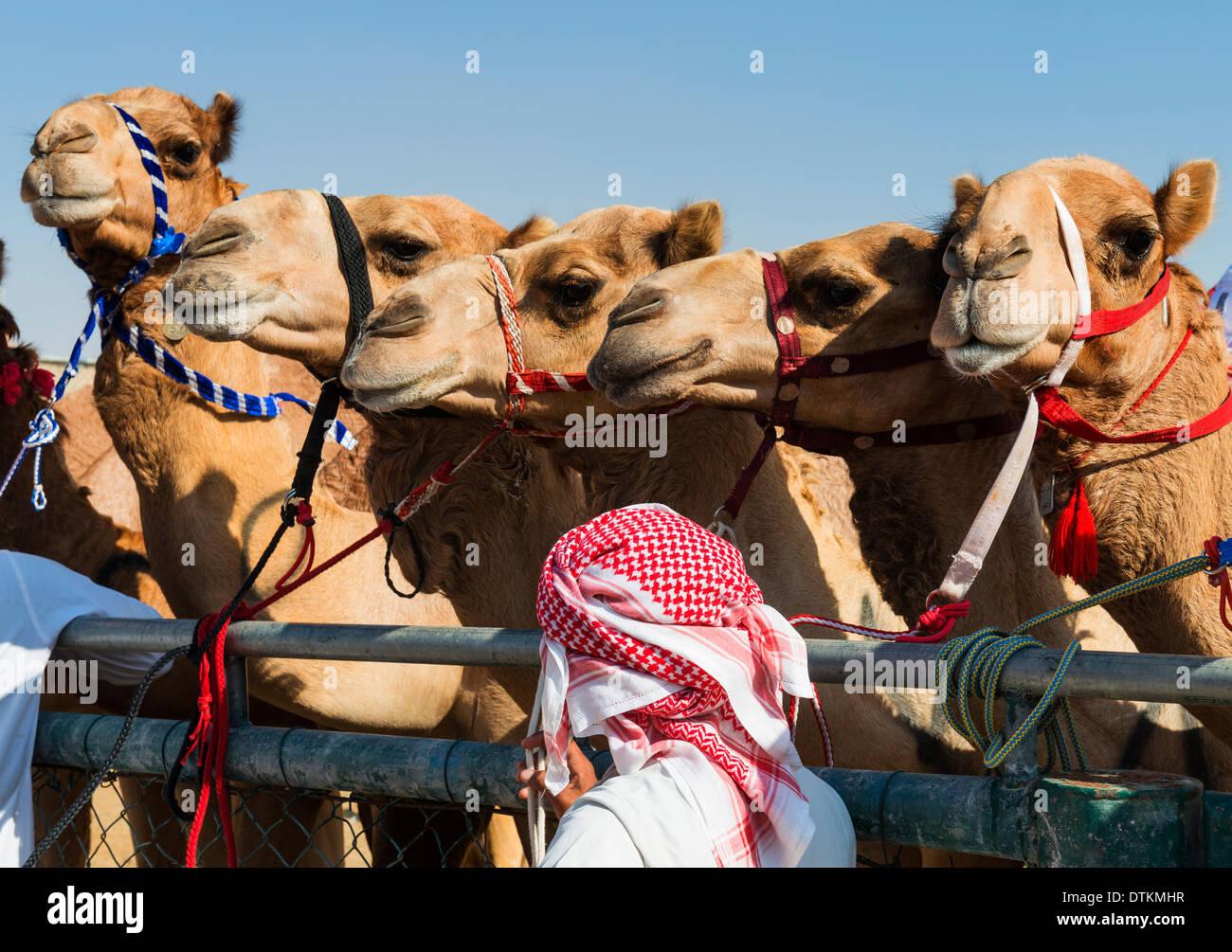 camel racing at Dubai Camel Racing Club at Al Marmoum in Dubai United Arab Emirates - Stock Image