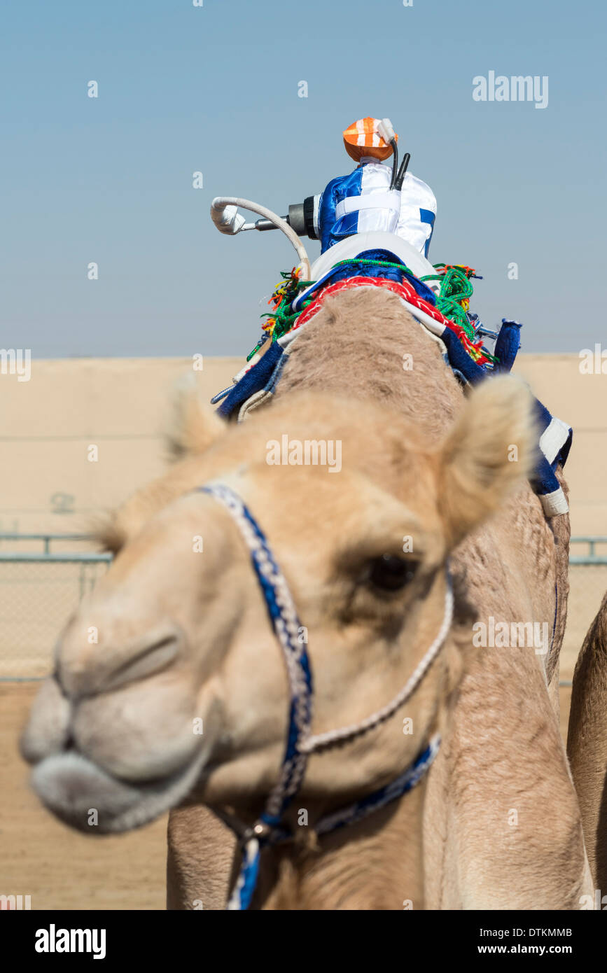 Remote controlled robot camel jockey at camel racing at Dubai Camel Racing Club at Al Marmoum in Dubai United Arab Emirates - Stock Image