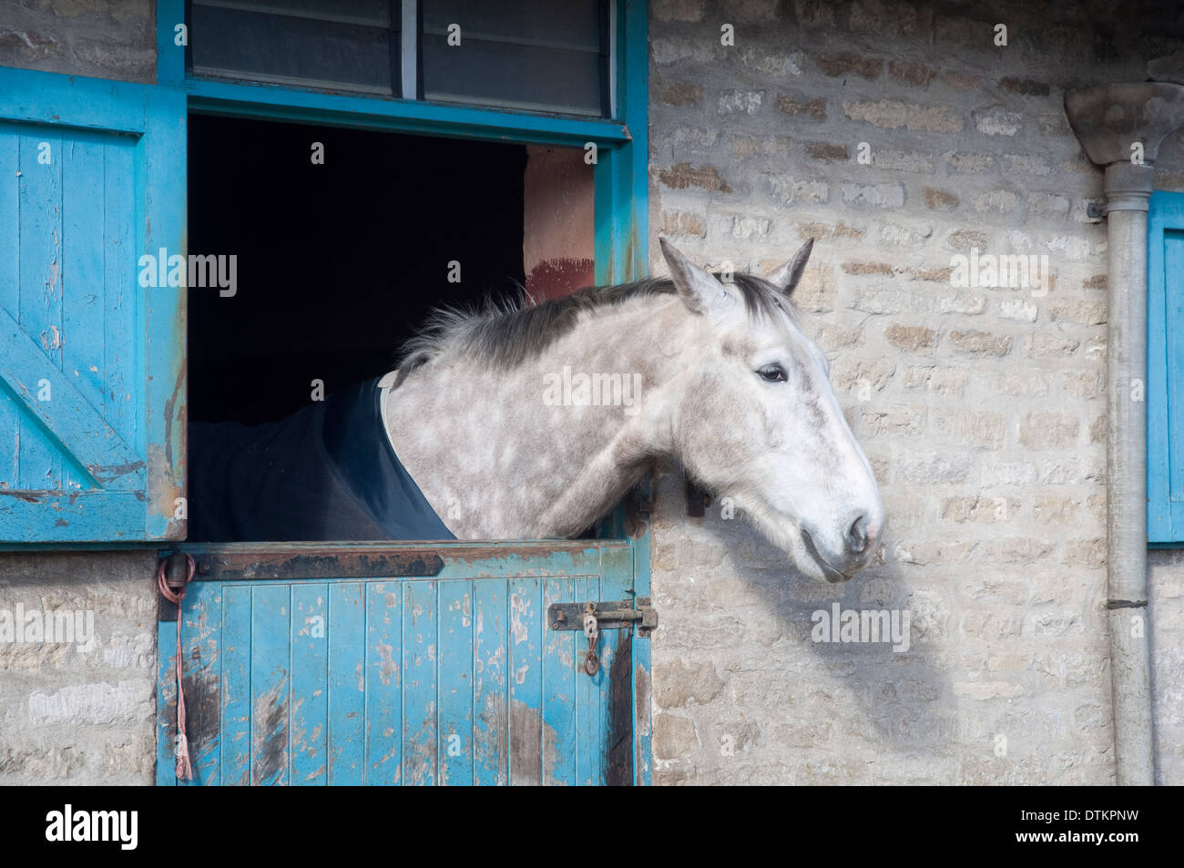 A dappled grey horse peering out of a stable door. UK. - Stock Image