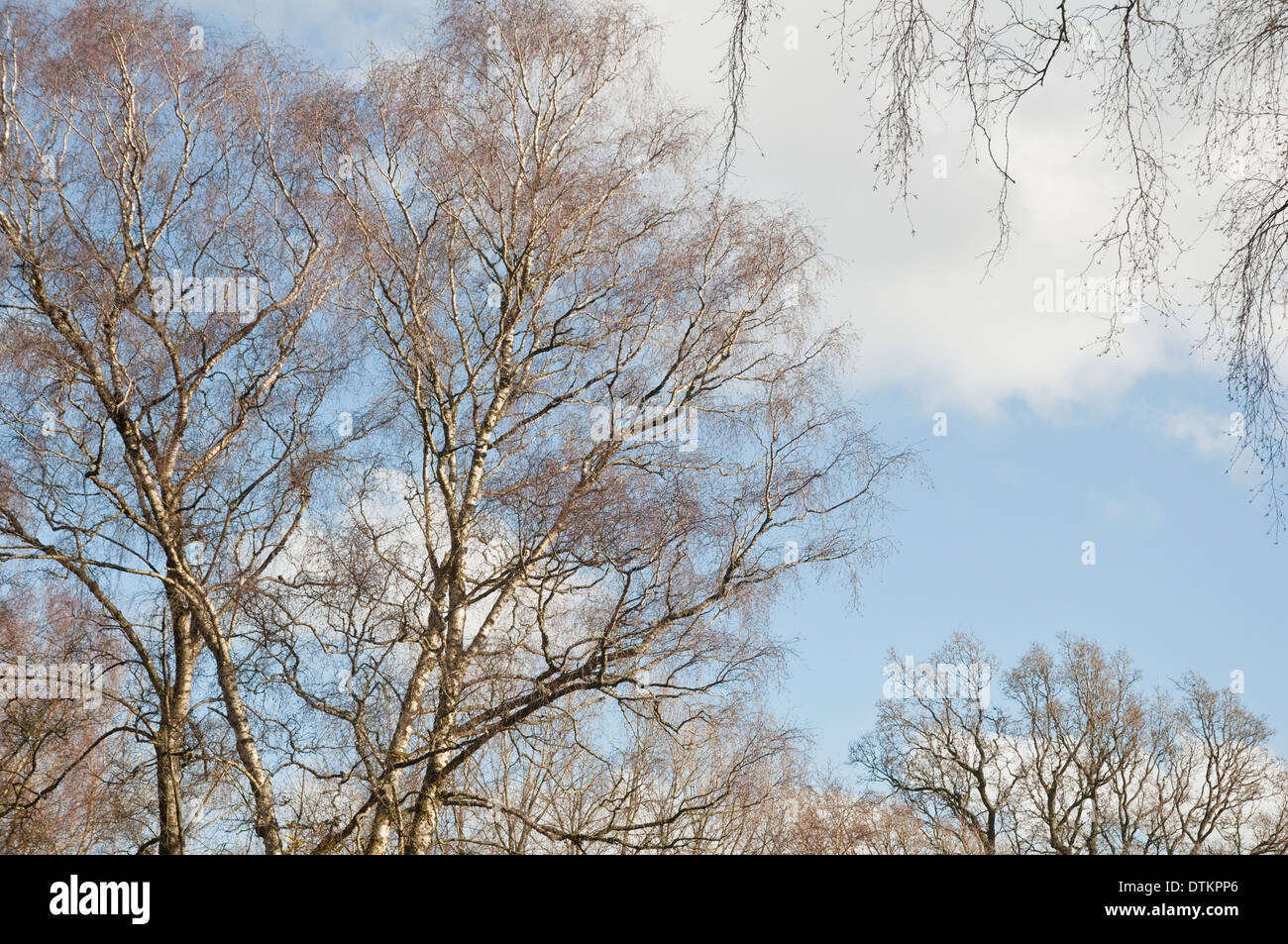 Branches and delicate fine twig tracery of Silver Birch Trees (Betula pendula) shown against a pale blue winter sky. UK. - Stock Image