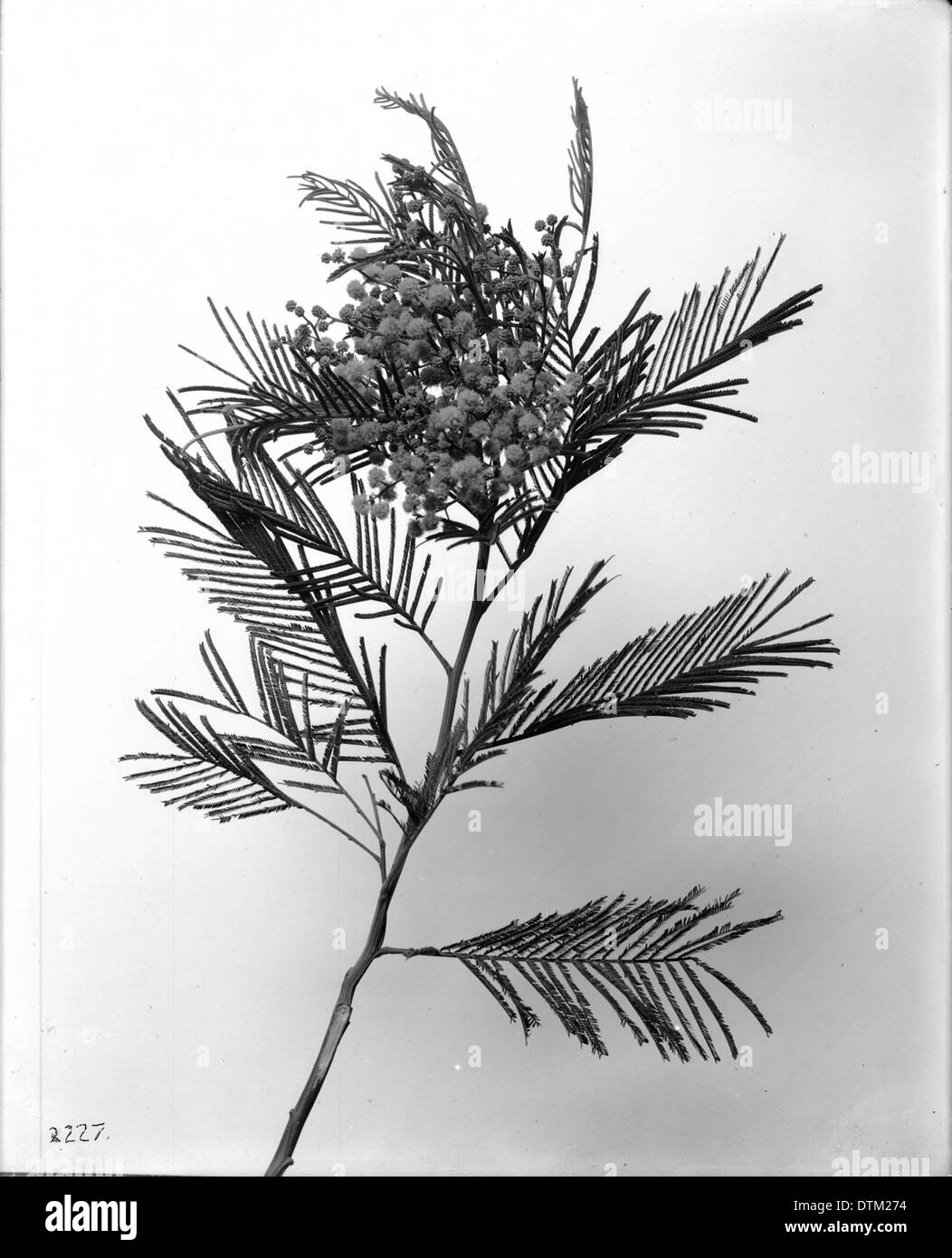 Specimen Of A Black Wattle Acacia Decurreus With Blossoms Ca1920