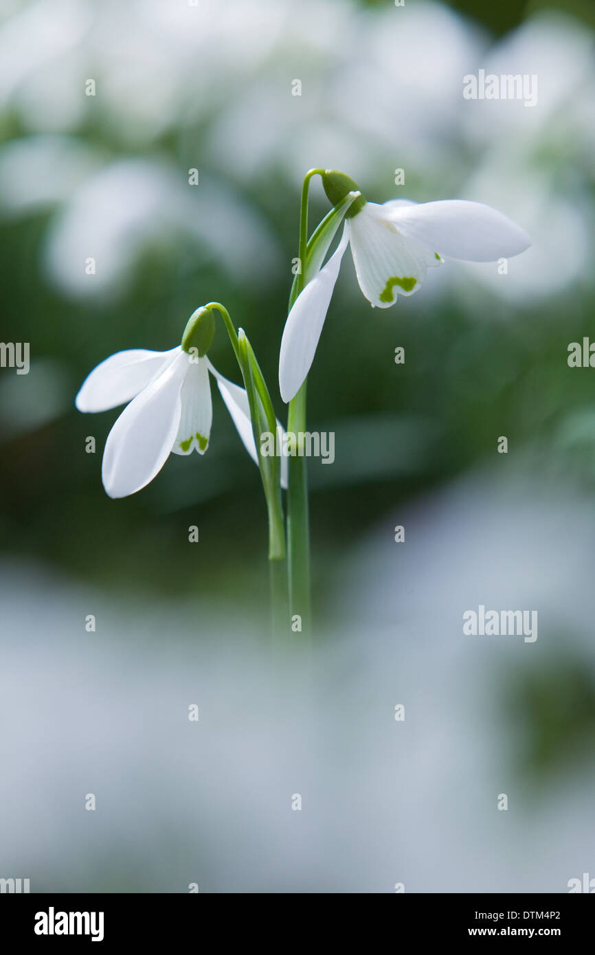 Snowdrops (Galanthus) in the English countryside in winter. North Lincolnshire, UK. February 2014. - Stock Image