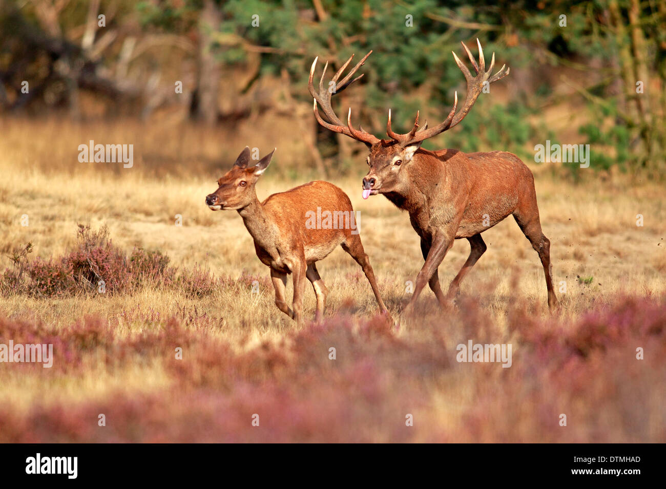 Red Deer, male and female, Hoge Veluwe Nationalpark, Netherlands, Europe / (Cervus elaphus) / rut, rutting season - Stock Image