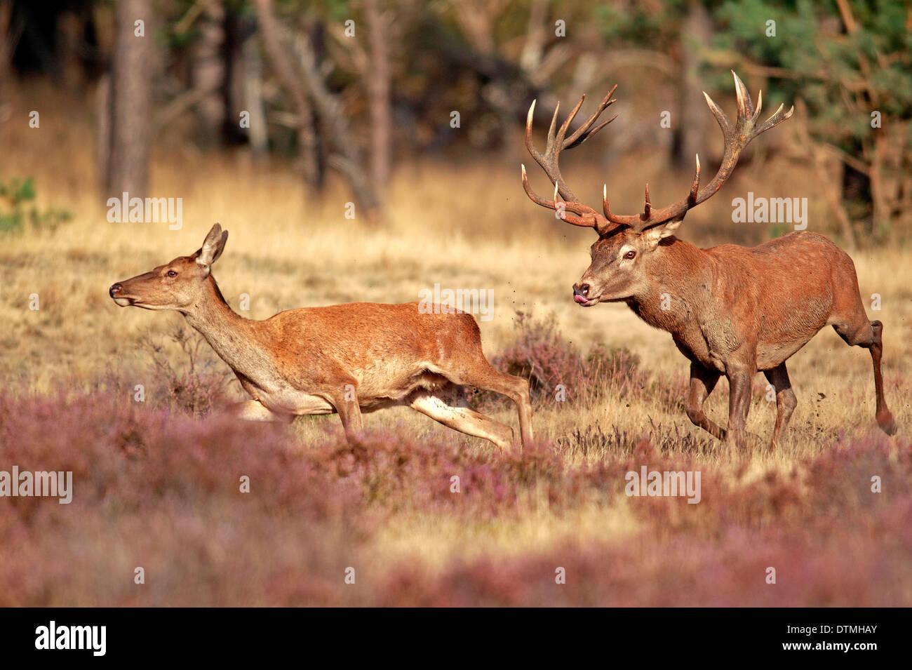 Red Deer, male and female, Hoge Veluwe Nationalpark, Netherlands, Europe / (Cervus elaphus) / rut, rutting season - Stock Image