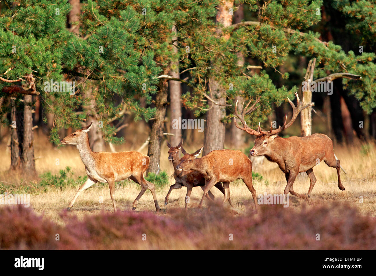 Red Deer, male and females, Hoge Veluwe Nationalpark, Netherlands, Europe / (Cervus elaphus) - Stock Image