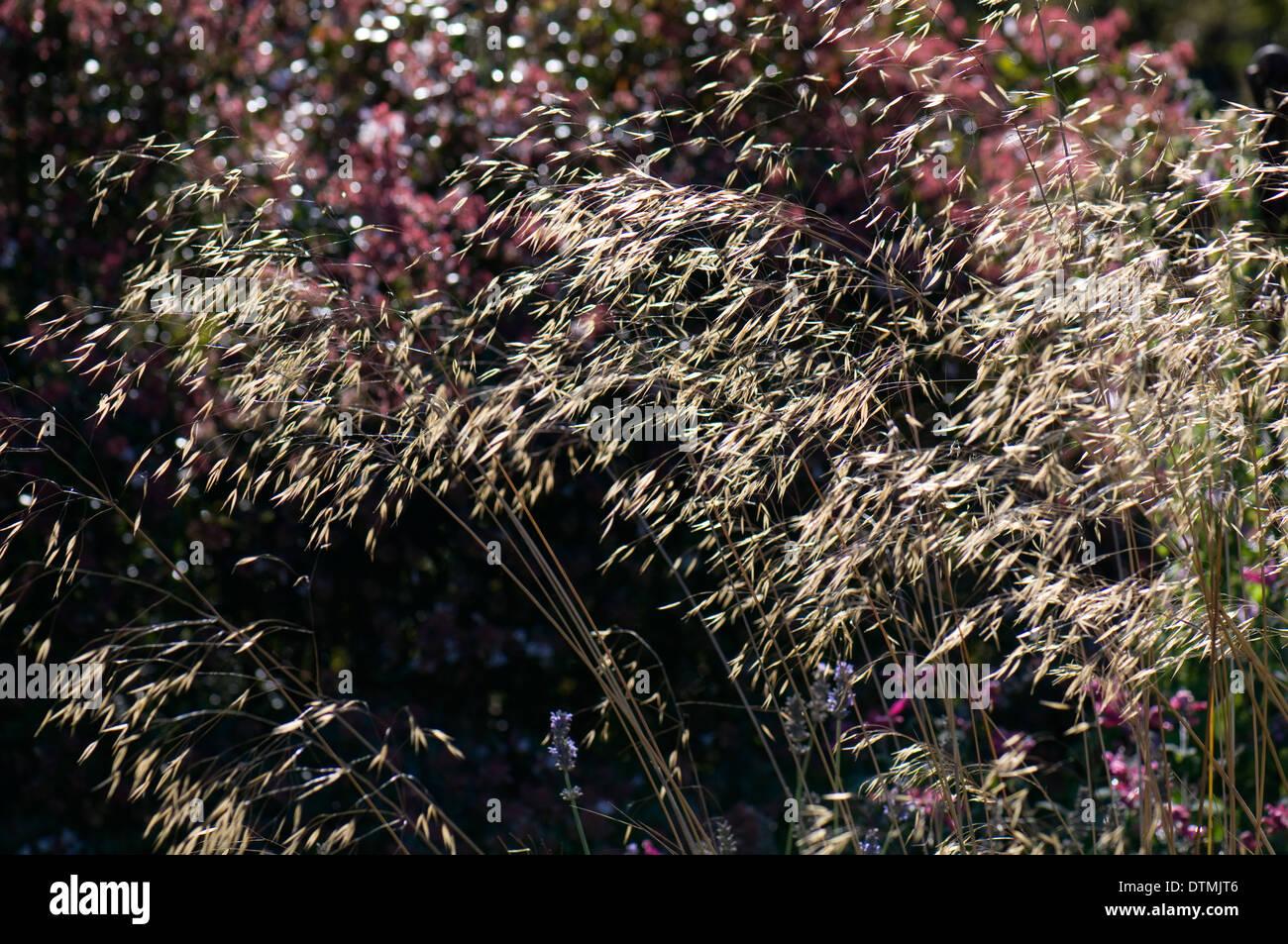 Ornamental grass rhs wisley stock photos ornamental grass rhs light shining through stipa gigantea wisley rhs gardens stock image workwithnaturefo