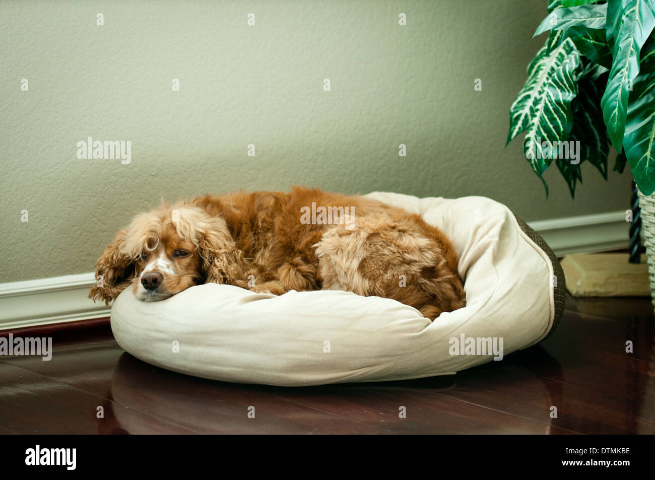 Cocker Spaniel family pet dog lounges on a cushion on polished wooden floor with plant in background - Stock Image