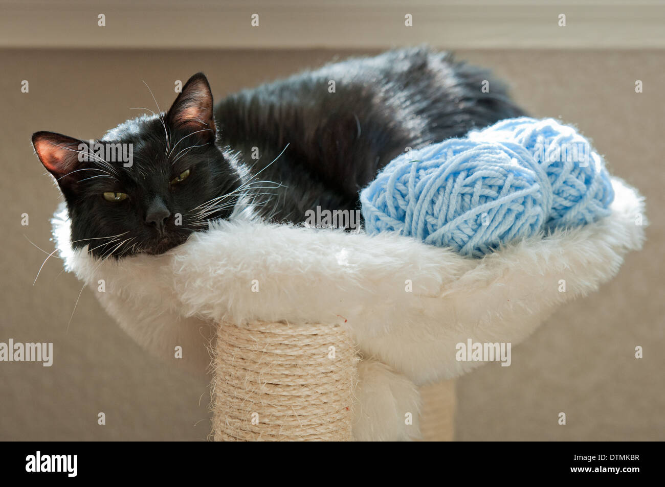Black cat family pet relaxes with a ball of blue wool on a white fluffy cat perch - Stock Image