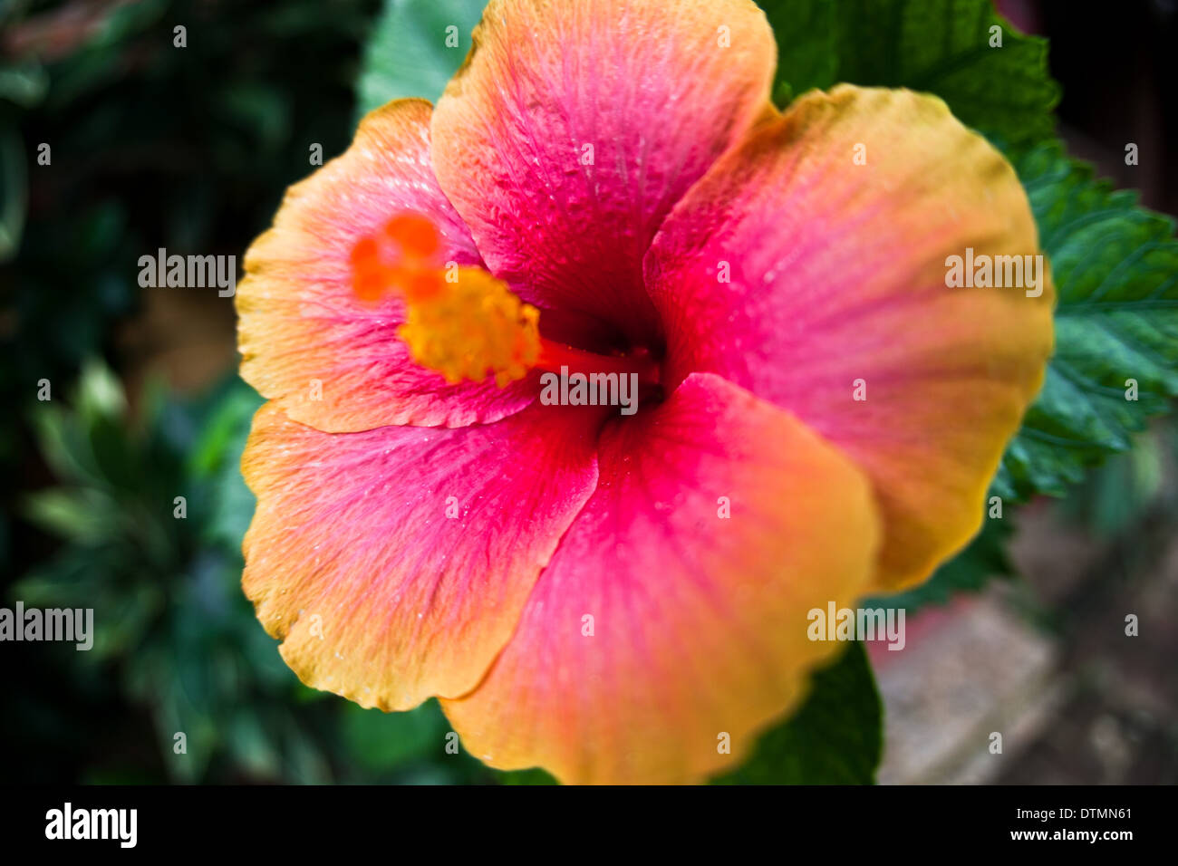 Hibiscus flower tropical pink and yellow island flower stock photo hibiscus flower tropical pink and yellow island flower izmirmasajfo