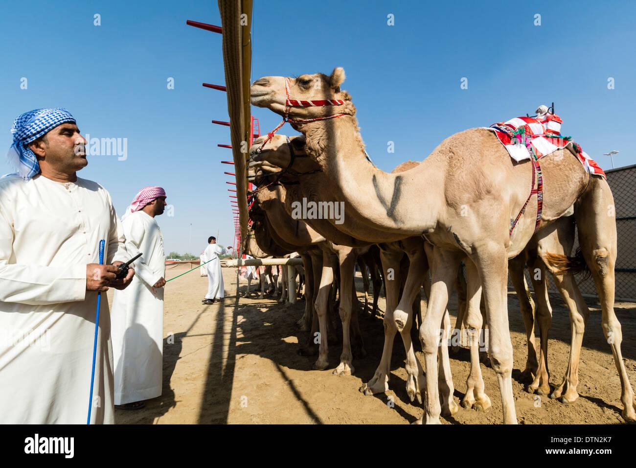 Camels at starting gate at Dubai Camel Racing Club at Al Marmoum in Dubai United Arab Emirates - Stock Image