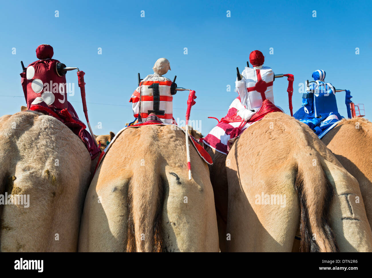 Remote controlled robot jockeys at camel racing at Dubai Camel Racing Club at Al Marmoum in Dubai United Arab Emirates - Stock Image