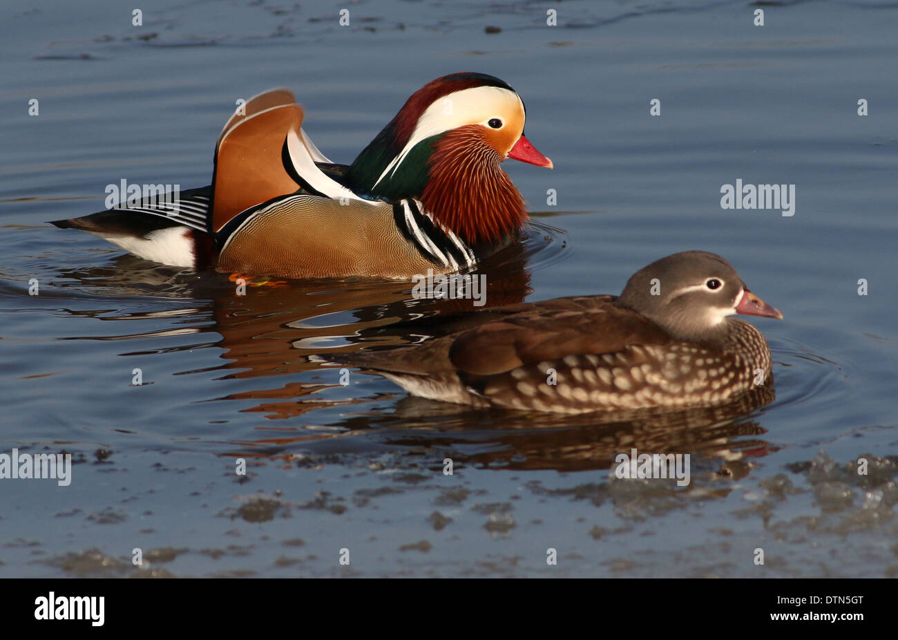 Close Up Of A Male And Female Mandarin Duck Aix Galericulata Swimming Together