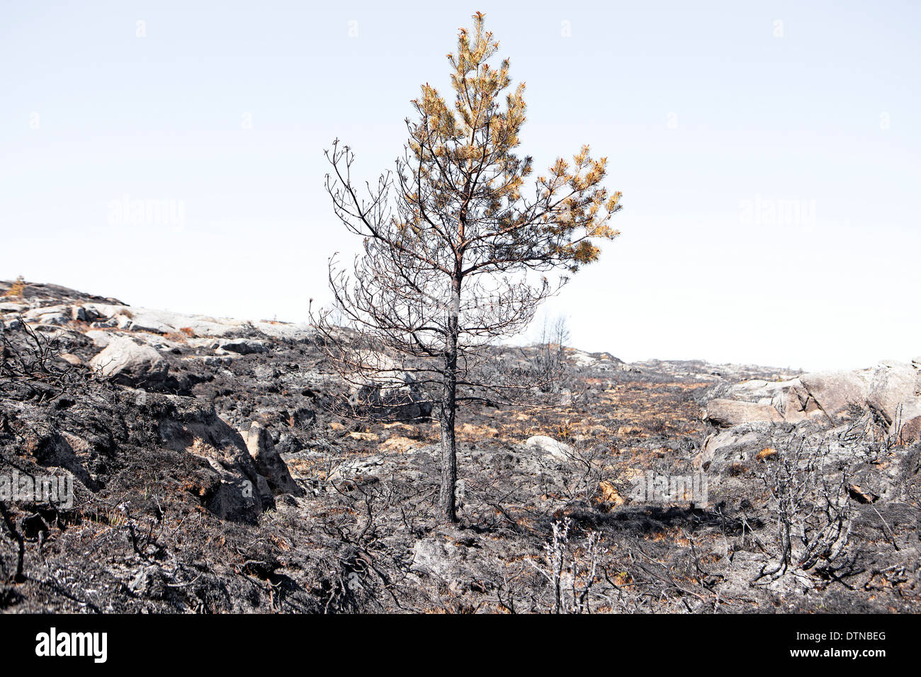 burnt trees in minimalist landscape - Stock Image