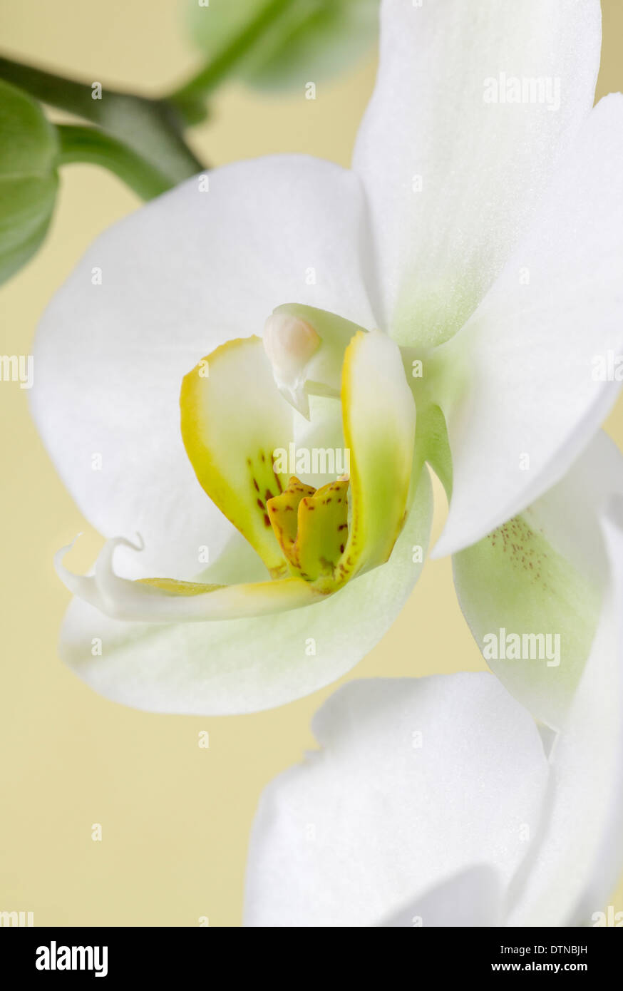 Close up of white orchid Stock Photo
