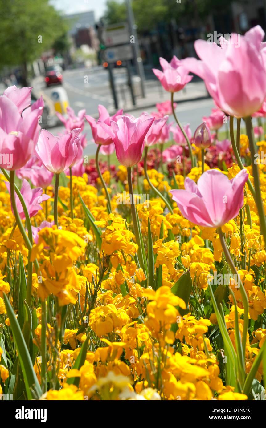 Pretty Spring Flowers On A Traffic Island In Nottingham England Uk