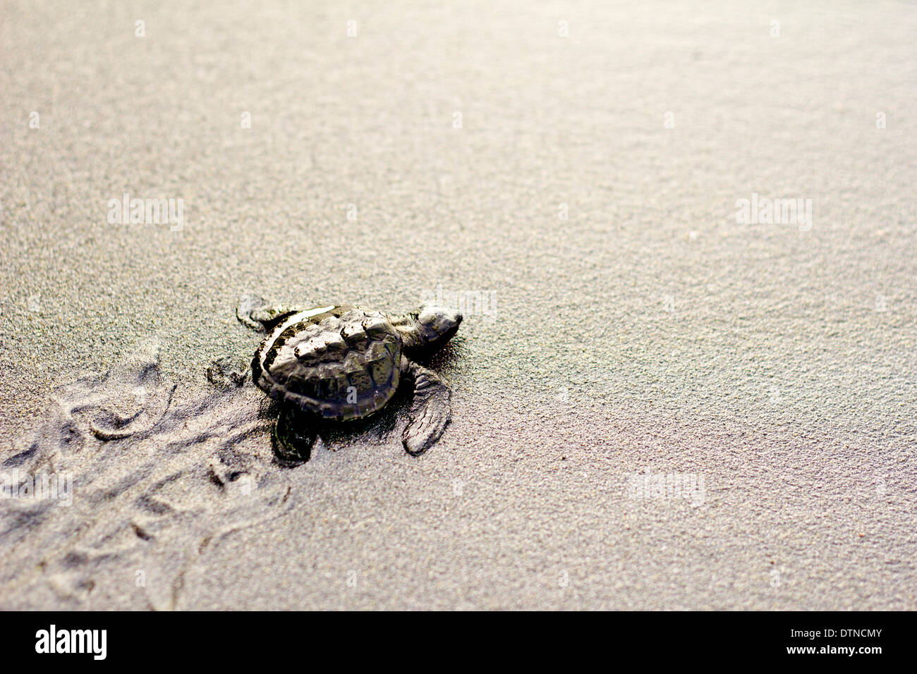 A baby olive ridley turtle crawls to the shore after hatching in a beach in Maitum, Sarangani province, Mindanao, Stock Photo