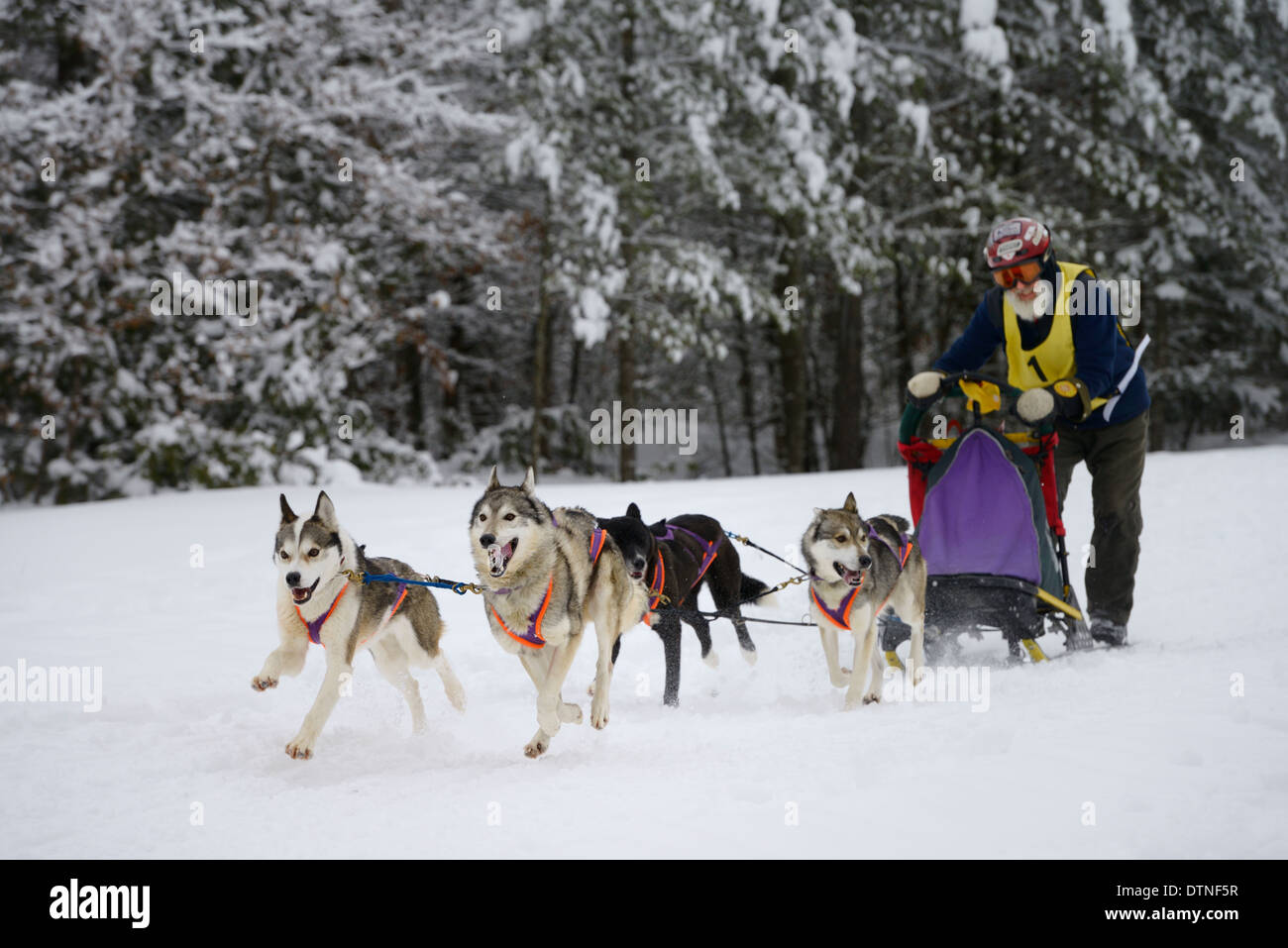 Older male musher passing snowy forest on four dog sled event at Marmora  Ontario Snofest - Stock Image