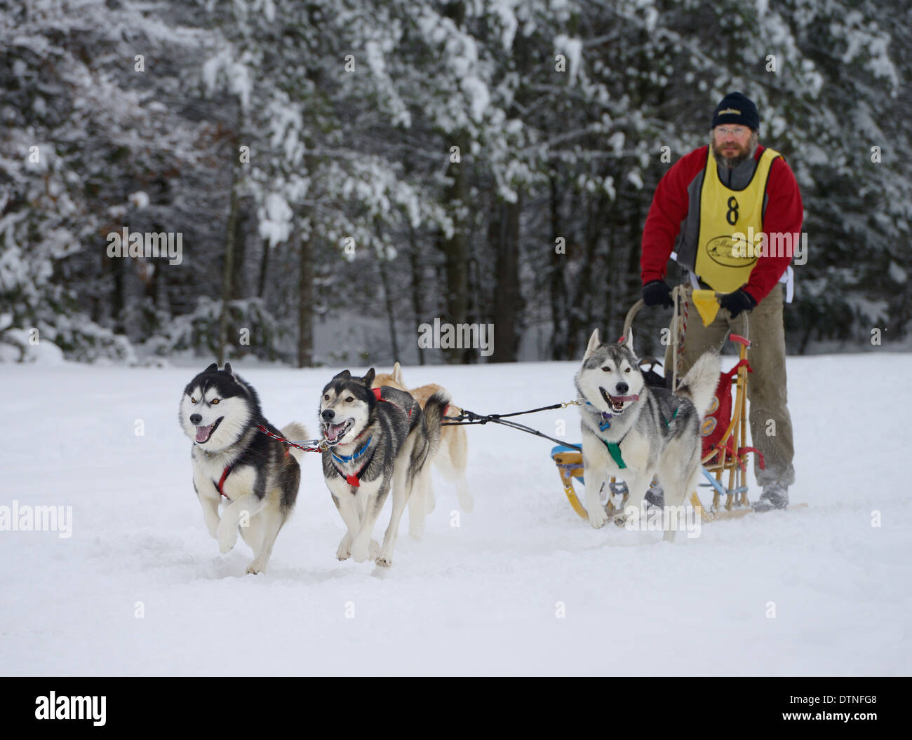 Male musher with Huskies at start of four dog sled race event at Marmora Snofest - Stock Image