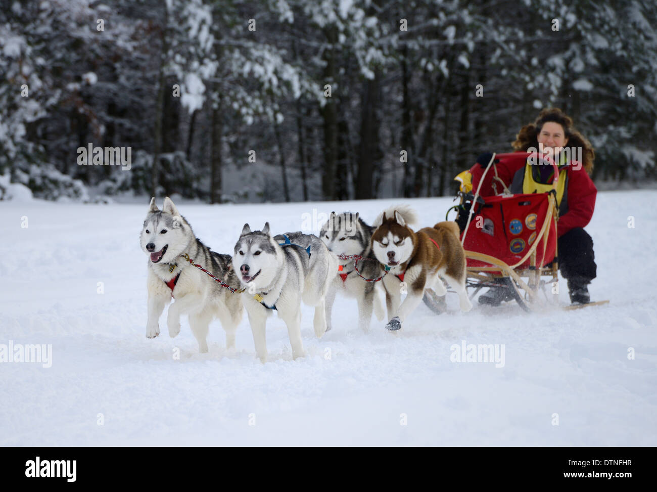 Crouching woman musher with four Huskies in a dogsled race event at Marmora Snofest Ontario Canada with snow covered trees - Stock Image