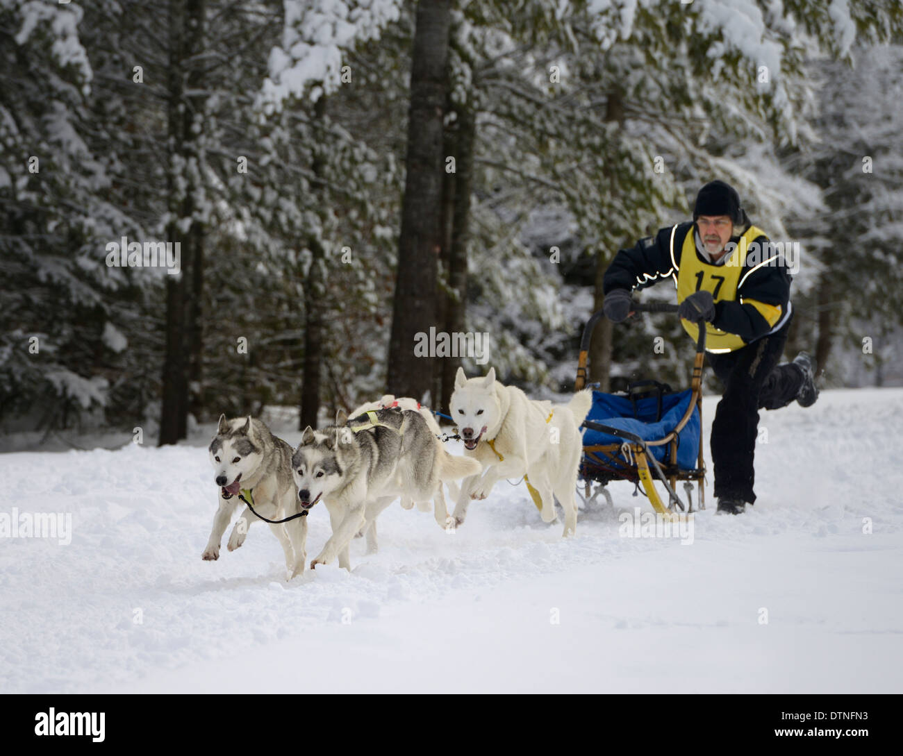 Male musher kicking off with four dog sled race event at Marmora Snofest - Stock Image