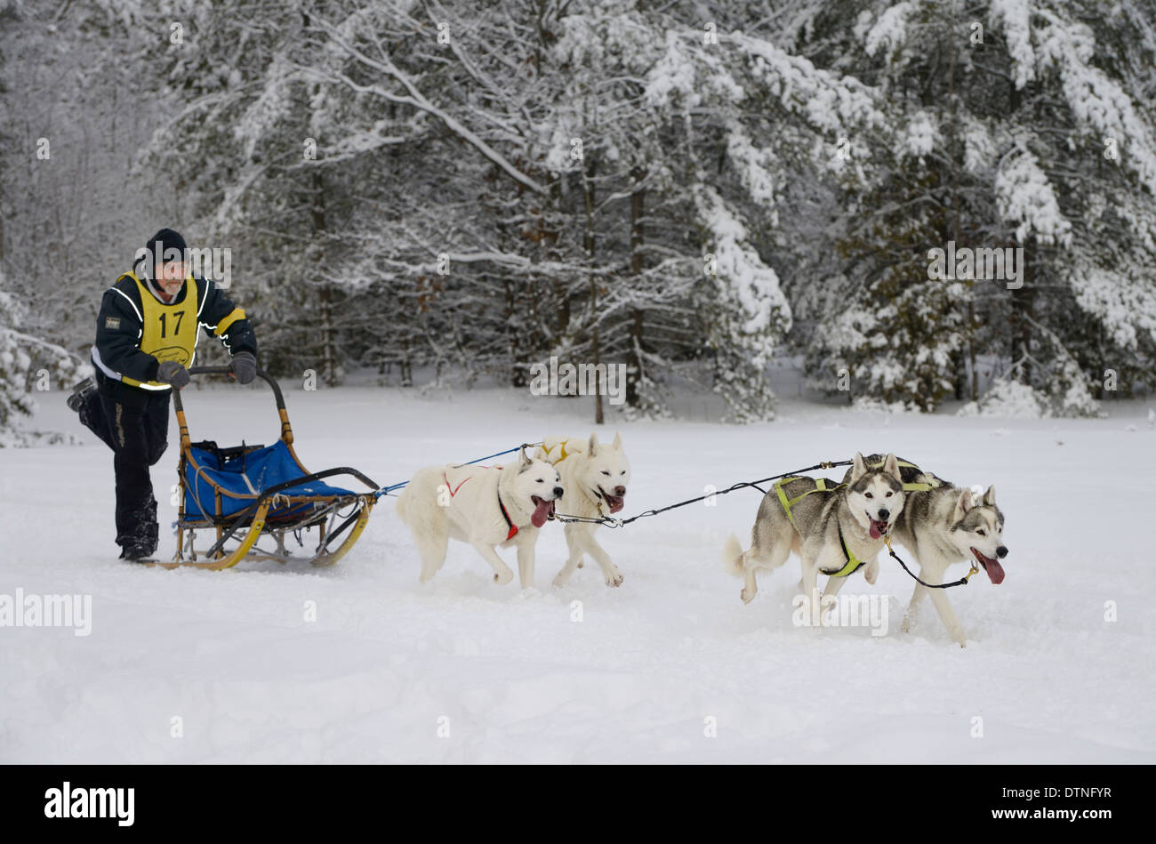 Male musher pushing four dog sled race event at Marmora Snofest Ontario Canada with snow covered evergreen trees - Stock Image