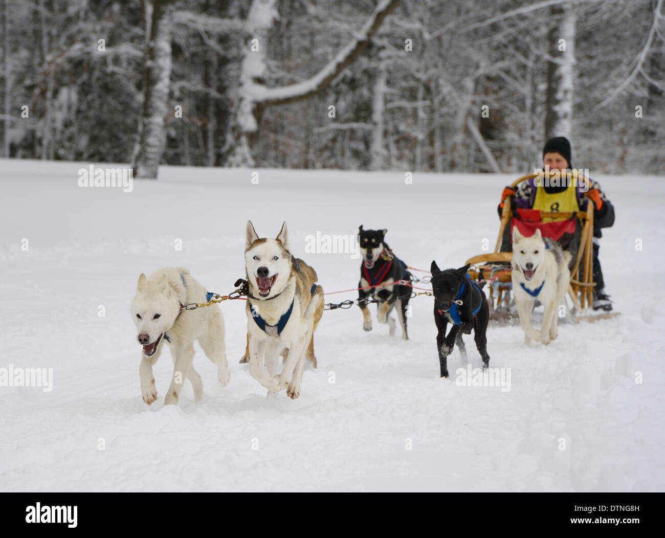 Crouching male musher with six Seppala sleddogs at start of 10 mile race in fresh snow Marmora Ontario Snofest - Stock Image