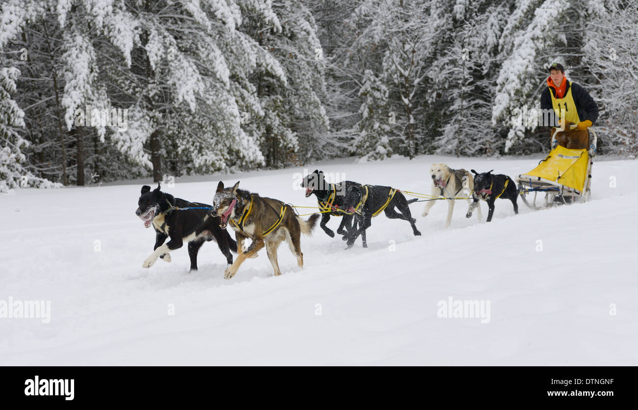 Young male musher with six dog sleddog team hot after exiting forest on home stretch Marmora Snofest Ontario Canada with snow covered evergreen trees - Stock Image