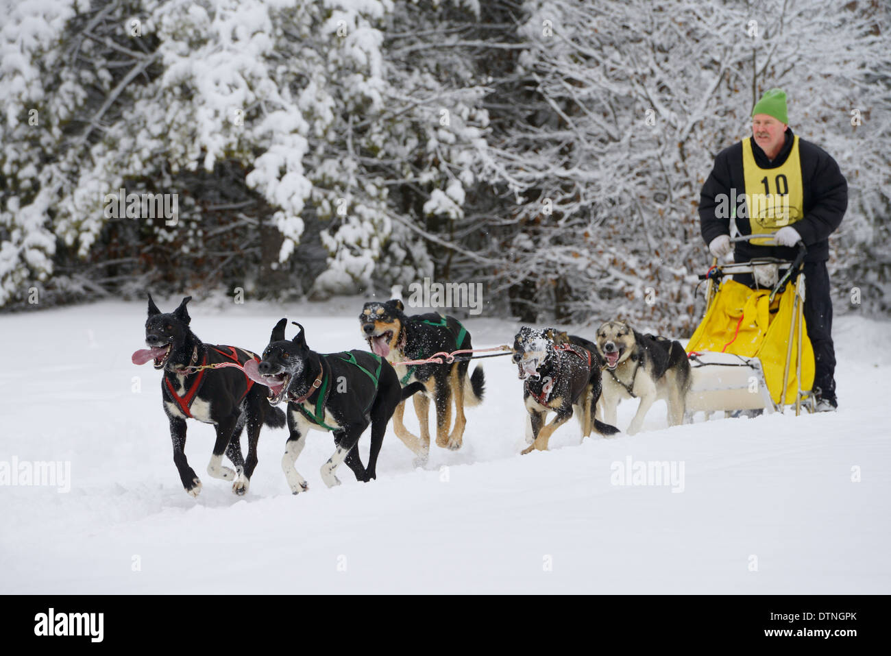 Male racer with six dog sleddog team with lolling tongues and slobber Marmora Snofest Ontario Canada with snow covered trees - Stock Image