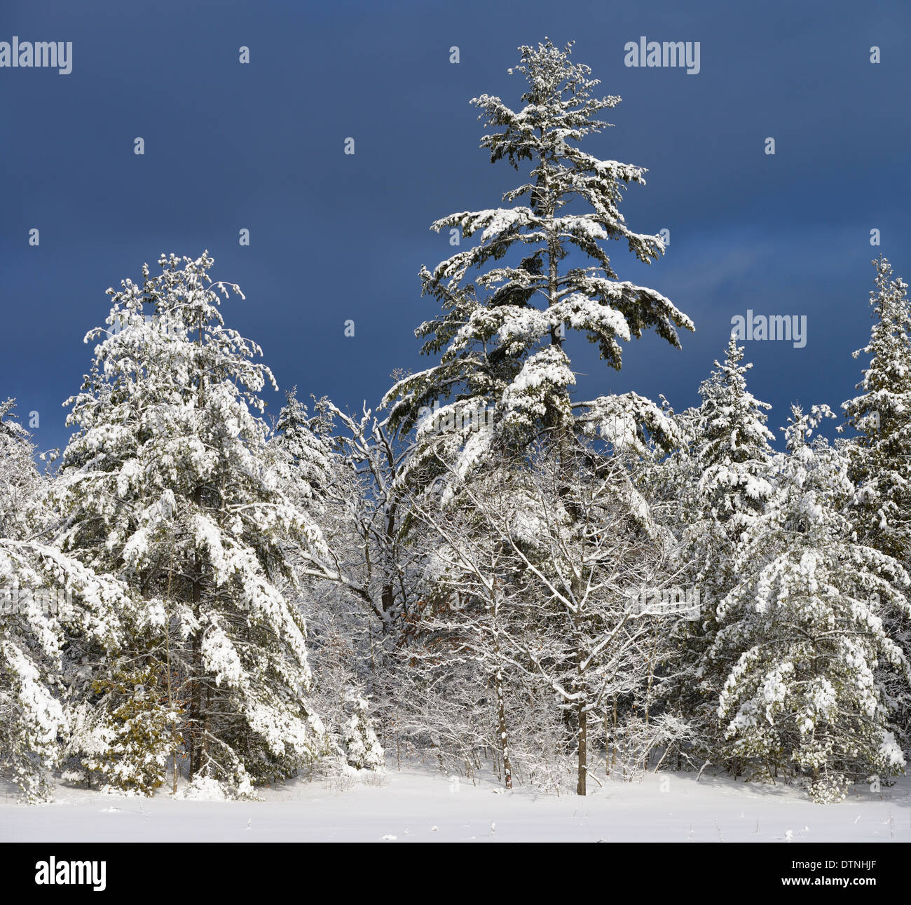 Snow covered evergreen trees in winter with dark sky in Marmora Ontario Canada - Stock Image