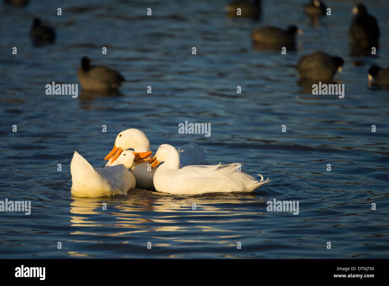 American pekin duck in White Rock Lake, Dallas, Texas, USA - Stock Image