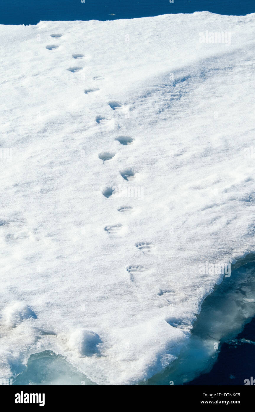 Polar Bear footprints in the snow on the pack ice in the Svalbard Archipelago, Norway - Stock Image