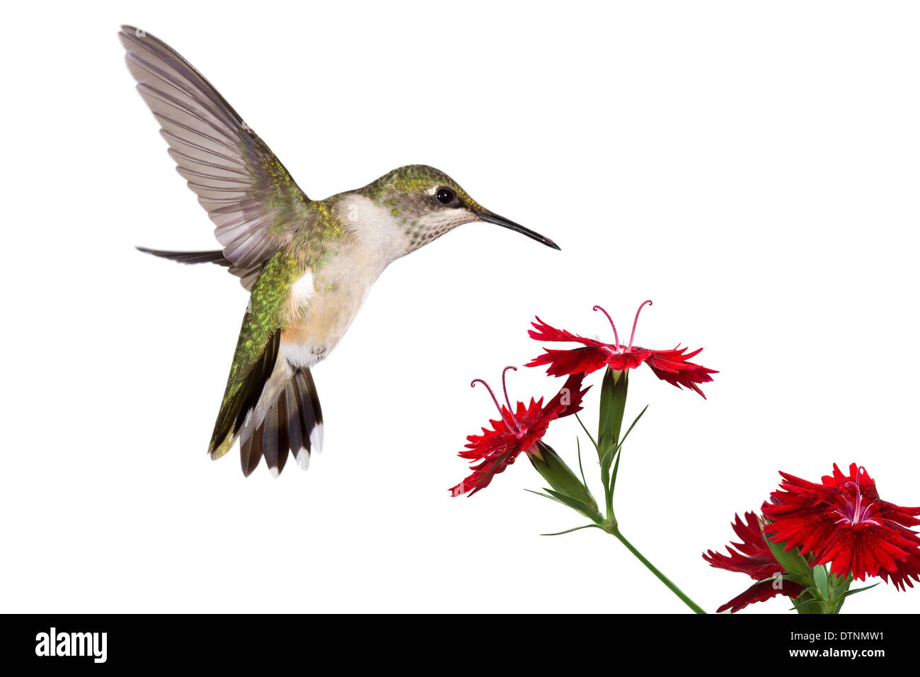 hummingbird with frozen wings and open tail hovering over three red dianthus - Stock Image