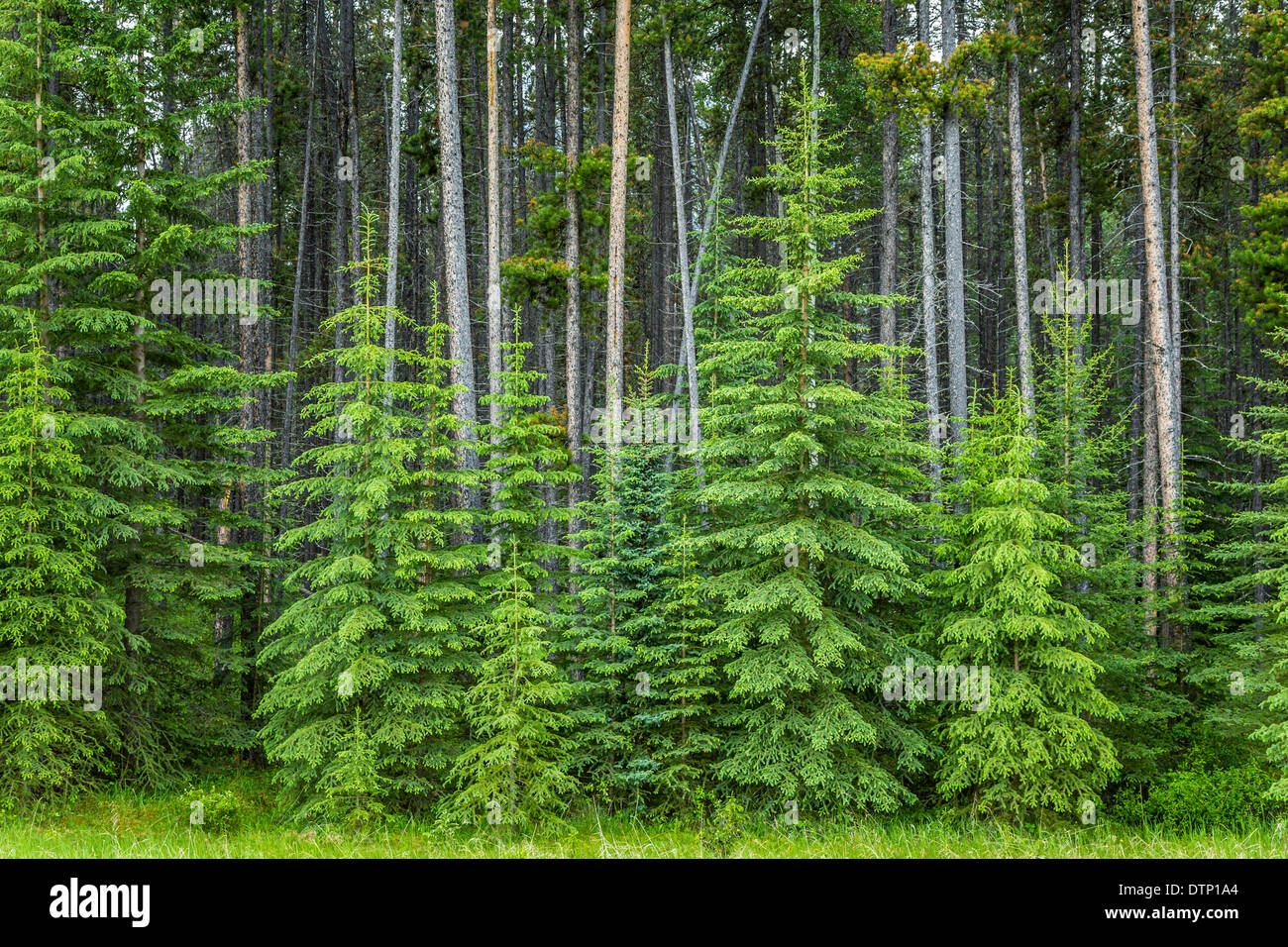 Roadside evergreen trees in Jasper National Park, Alberta, Canada. - Stock Image